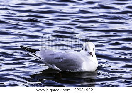 Swimming Common Gull In Bedfont Lakes Country Park, London, United Kingdom