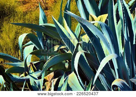 Drought Tolerant Landscaping Including Aloe Vera Plants Which Store Water In Its Large Fleshy Leaves
