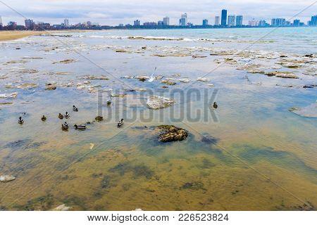Ducks In Lake Michigan