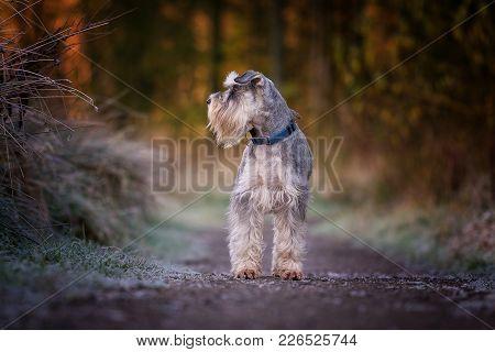 Miniature Schnauzer Dog Looks To The Side On Woodland Path