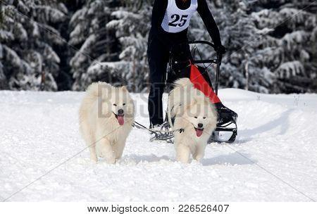 Dog-sledding with spitz dogs