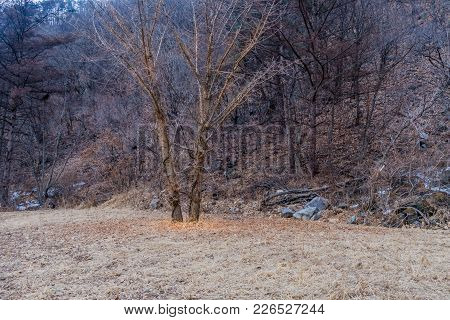 Pair Of Large Barren Leafless Trees In A Field At Edge Of Forest On Hill With Large Granite Boulder