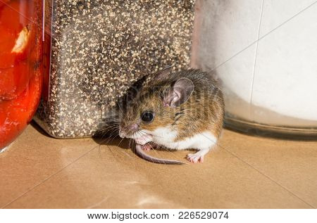 Side View Of A Wild Brown House Mouse, Mus Musculus, In Front Of Food Containers In A Kitchen Cabine