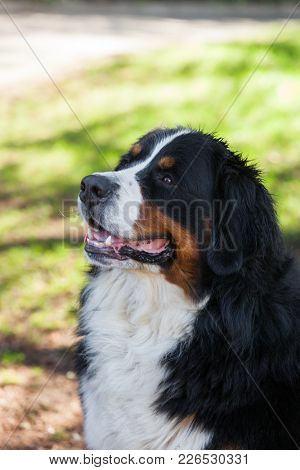 Bernese Shepherd outdoors in the nature