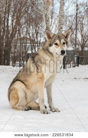 Beautiful Female Dog Of Saarloos Wolfhound In The Winter Park