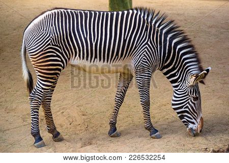 February 12, 2018 In Los Angeles, Ca:  Zebra Roaming A Plain Taken At The Los Angeles Zoo In Los Ang