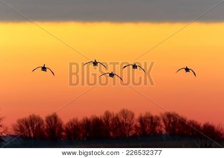 Canadian Geese Fly In The Sunset For A Landing At  Middle Creek Wildlife Management Area In Lancaste