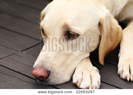 Labrador Retriever Lying On Wood Floor