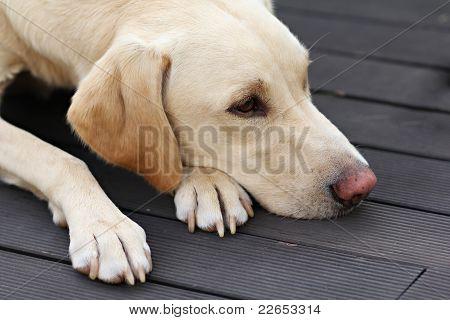 Sad Labrador On Garden Terrace