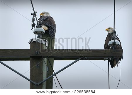 Eagles Power Pole. Two Adult Bald Eagles And One Immature Eagle Perch In A Tree.