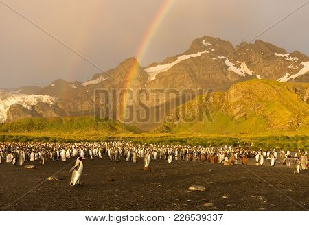 A King Penguin Colony At Gold Harbor Photographed In The Golden Light Of Dawn. A Double Rainbow Is O