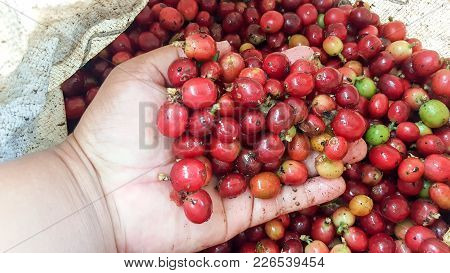 The Coffee Cherries Will Just Keep On Hand Selective Focus. It Arabica Coffee Bean To Plant At Tapsa