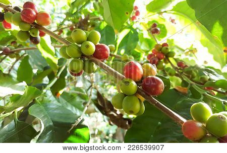 Arabica Coffee Tree With Coffee Bean In Cafe Plantation Selective Focus.  Coffee Beans Young And Rip