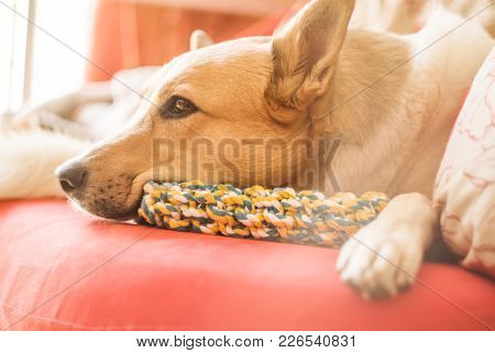 Lovely Mixed Breed Huski And Shepherd Dog Sleeping On An Orange Sofa Indoors