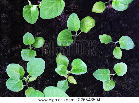 Young Shoots Of Eggplant. The Sprouts Of Eggplants Grown At Home From Seeds.