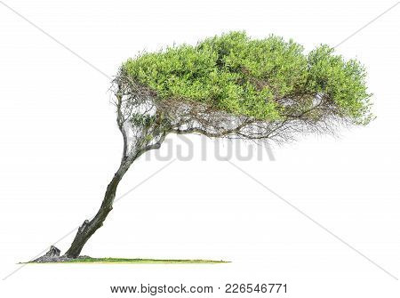 Tilted  Eucalyptus Tree With Asymmetric Crown Isolated On White Background