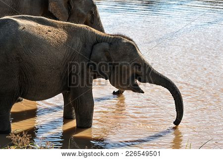 Baby Elephant Is Drinking From The River Near Its Mother In Yala National Park On Sri Lanka. Sun Shi