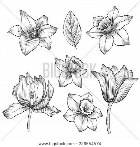 Vintage Vector Floral Set Of Isolated Elements In Victorian Style, Flowers Of Narcissus And Tulips,
