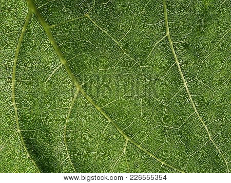 Natural Bright Background Of Juicy Green Leaf Texture With Translucent Veins