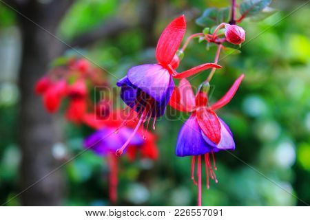 Fuchsia Flowers Bloom. Pink And Purple Fuchsia In The Garden. Flowers Macro. The Care Of Garden Plan