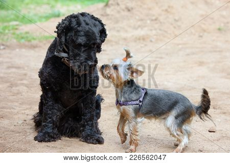 Two Dogs - Black Terrier And  Yorkshire Terrier Met On Walk. Purebred And Cute