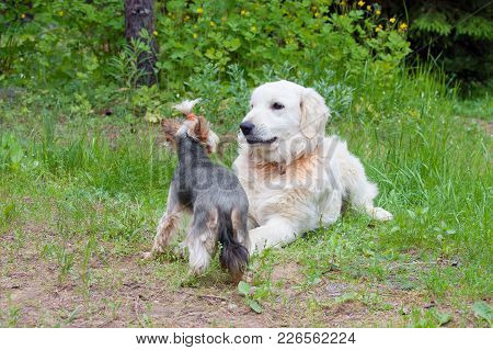 Two Dogs - Golden Retriever And  Yorkshire Terrier Met On Walk. Purebred And Cute