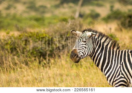 Zebra With Ears Down And A Funny Mimicry In The Parkland Of Nairobi Kenya