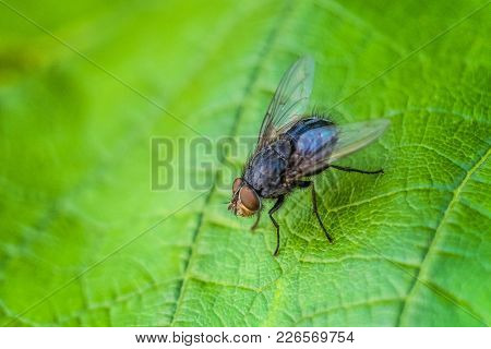 Blue Meat Fly Insect On The Green Leaf In Nature Close-up. Blue Bottle Fly. Wildlife With Selective
