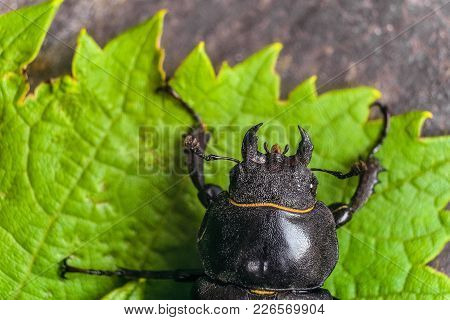 Head With Mandibles Of Female Stag Beetle On The Green Leaves. Big Insect In The Wildlife With View