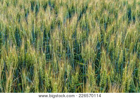 Greens Of Ripening Wheat Ears.  Fragment Of Green Field. Agricultural Plantation Background With Lim