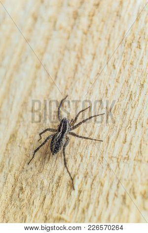 Fiddleback Spider, Violin Spider Or Brown Hermit Spider (loxosceles Reclusa). Poisonous Arthropod On