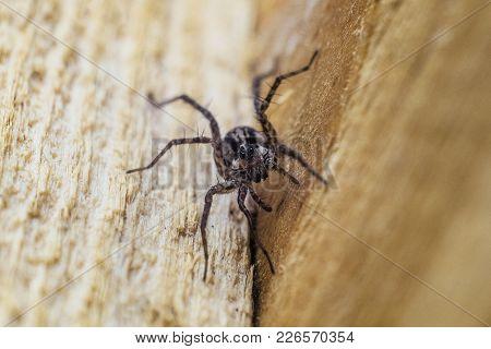 Portrait Of Fiddleback Spider, Violin Spider Or Brown Hermit Spider (loxosceles Reclusa). Poisonous
