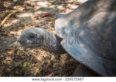 Highly Detailed Image Of Seychelles Giant Tortoise