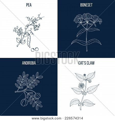 Vector collection of four hand drawn medicinal and eatable plants, pea, boneset, andiroba, cat claw poster