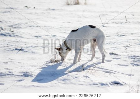 Mixed Breed White Dog With Black Spots Standing On A Fresh Snow And Sniffing Around While Hunting On