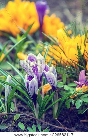 Flowers Crocuses On Bokeh Background In Sunny Spring Forest Under Sunbeams