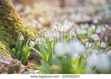 Sunrise Light On The White Tender Snowdrops In The Spring Forest.