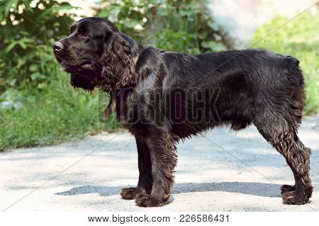 English Cocker Spaniel For A Walk In The Rack