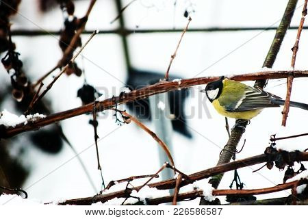 Tomtit Chickadee Titmouse Small Songbird That Searches Acrobatically For Insects Among Foliage And B
