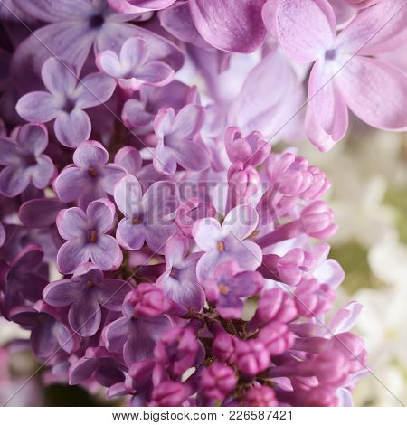 Lilac Flowers. Purple Spring Flowers. Floral Background