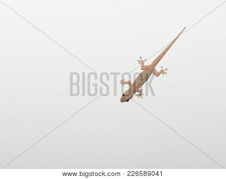 Gray Transparent Lizard, Small Reptile Found In Tropical Area, Walking On White Isolated Ceiling Bac