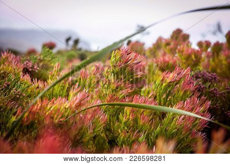 The Cape Floral Kingdom. Fynbos Swaying In The Wind In Cape Town.