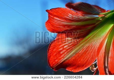 Red Flower Of Amaryllis Close-up. One Can Only See Inflorescences. On The Background Of The Window A