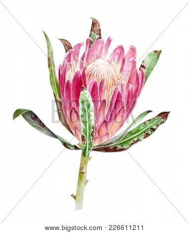 Watercolor protea flower on white background. Botanical illustration