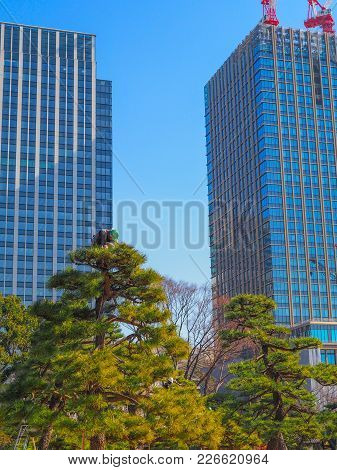 An Arborist, Tree Surgeon, At Work On Top Of A Tree In Tokyo Japan. On Top Of A Tall Bonsai Style Ja