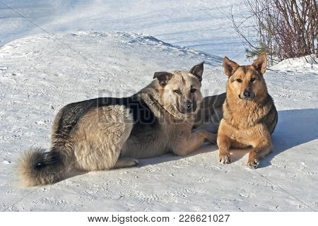 Portrait Of Dogs Mongrels Walking In The Winter In The Forest