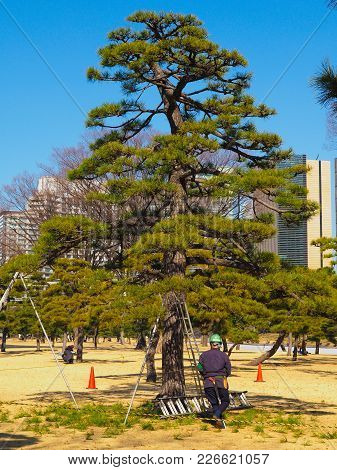 An Arborist, Tree Surgeon, In Tokyo Japan. A Tall Bonsai Style Japanese Black Pine, Pinus Thunbergii