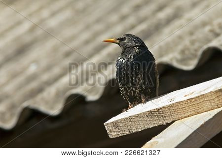 Closeup Of A Beautiful Bird Starling Sits On The Edge Of A Wooden Roof Of The House