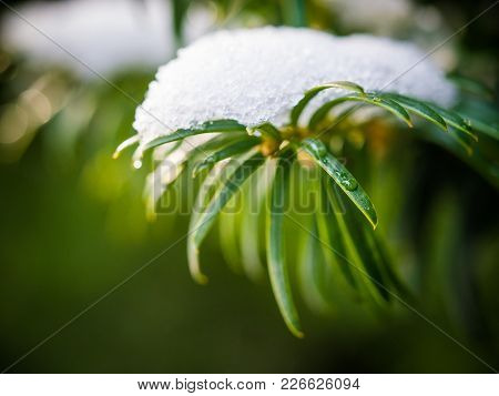 Background With Green Conifer Tree Growing In The Winter Park