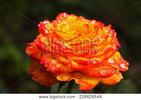 Big Bright Fire Rose In Drops Of Morning Dew